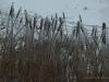 Ice Storm Reeds