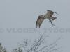 Osprey Builds nest