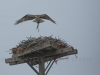 Osprey Builds Nest