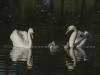 Mute Swan Family II