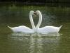 Swan\'s Love Heart